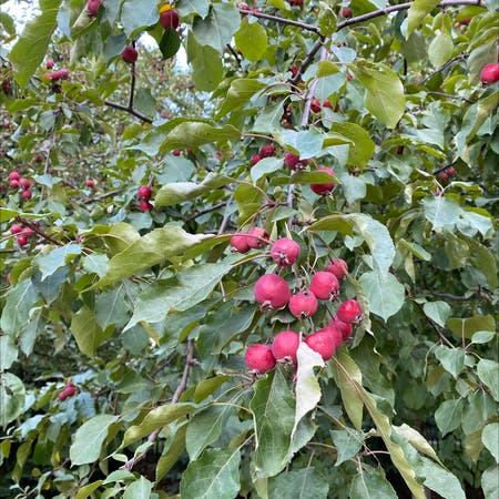 Photo of the plant species Malus Sylvestris by Prateek named Your plant on Greg, the plant care app