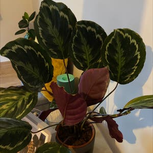 Rose Calathea plant photo by Notageordie named Cali on Greg, the plant care app.