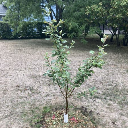 Photo of the plant species apple by Nf22official named William on Greg, the plant care app