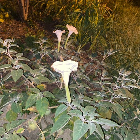 Photo of the plant species Moonflower by J_moneyyy0074 named Your plant on Greg, the plant care app