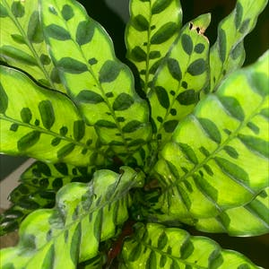 Rattlesnake Plant (prev. Calathea lancifolia) plant photo by Liibby named Spots on Greg, the plant care app.
