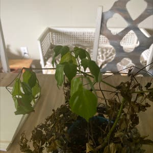 China Doll Plant plant photo by Regina named China Doll on Greg, the plant care app.