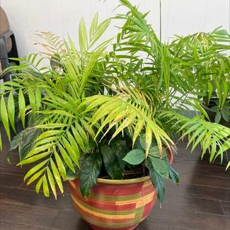 Parlour Palm plant in St. Louis, Missouri