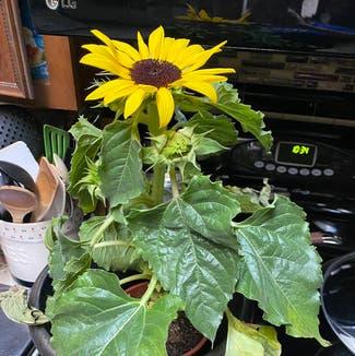 Common Sunflower plant in St. Louis, Missouri