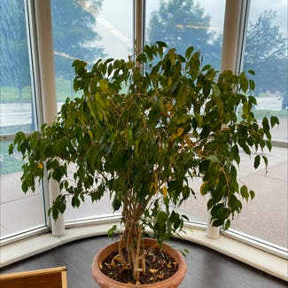 Weeping Fig plant in St. Louis, Missouri