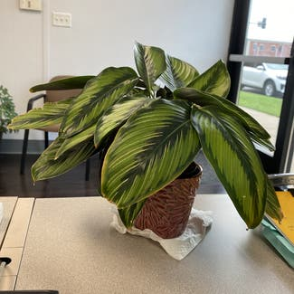 Pinstripe Plant plant in St. Louis, Missouri