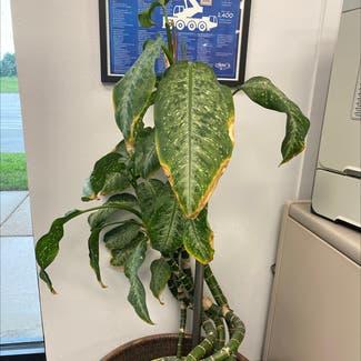 Dieffenbachia plant in St. Louis, Missouri