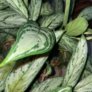 Chinese Evergreen plant photo by Tre named Your plant on Greg, the plant care app.
