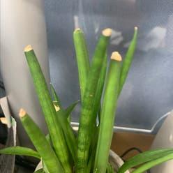 Cylindrical Snake Plant plant