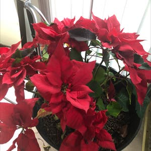 Poinsettia plant photo by Dms_dawnie named Holly on Greg, the plant care app.
