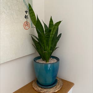 Rating of the plant Snake Plant named Terrance by Faithiweddle on Greg, the plant care app