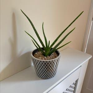 Aloe vera plant photo by Faithiweddle named Sid on Greg, the plant care app.