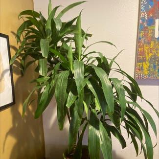Cornstalk Dracaena plant in Los Angeles, California