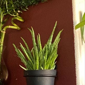 Aloe vera plant in Los Angeles, California