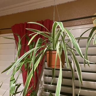 Spider Plant plant in Los Angeles, California
