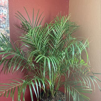 Pygmy Date Palm plant in Los Angeles, California