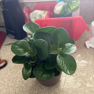 Baby Rubber Plant plant in Los Angeles, California