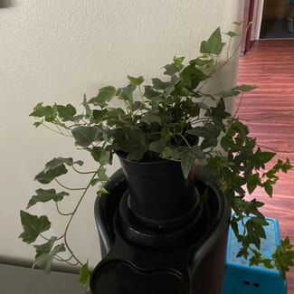 English Ivy plant in Los Angeles, California