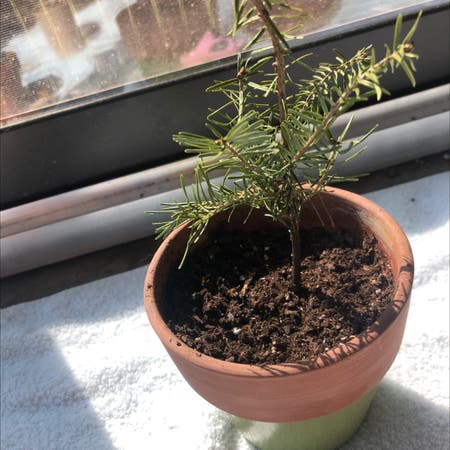 Photo of the plant species Balsam Fir by Jaybug named Remington on Greg, the plant care app