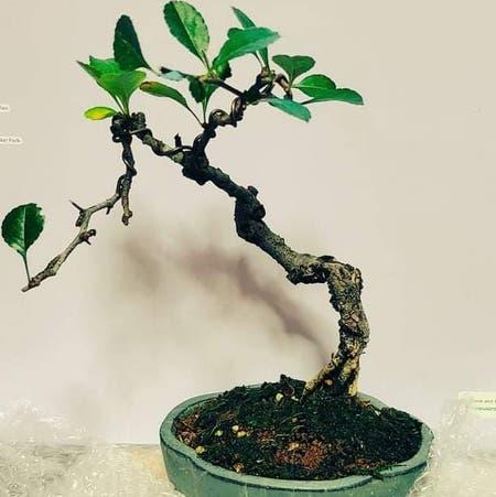 Photo of the plant species Chojubai by Krkohaku named 나무ジュン on Greg, the plant care app