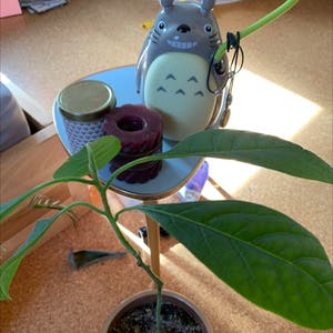 Avocado plant photo by Warenkorb named Avi on Greg, the plant care app.