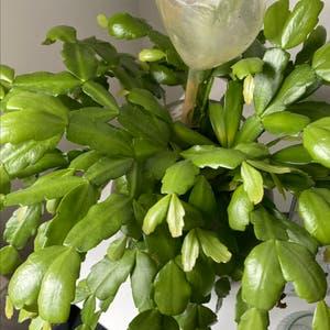 False Christmas Cactus plant photo by Chaiesgreenbabies named Fernie on Greg, the plant care app.