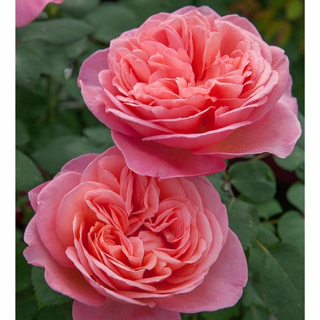Photo of the plant species Hybrid Tea Rose by Incubusdisplay named Guy on Greg, the plant care app