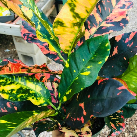 Photo of the plant species Croton 'Magnificent' by Morgan named Your plant on Greg, the plant care app