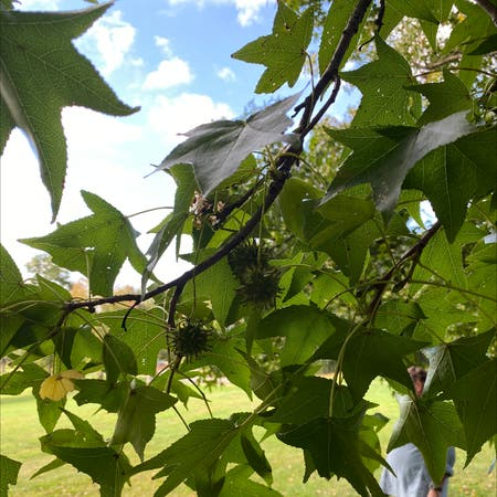 Photo of the plant species American sweetgum by Stephanie named Robert Plant on Greg, the plant care app