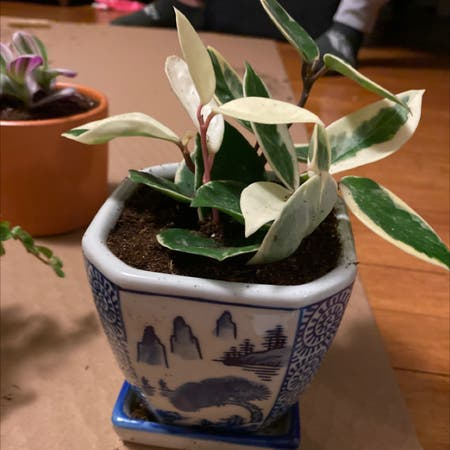 Photo of the plant species Variegated Hoya by Franny named Patrice on Greg, the plant care app
