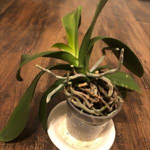 Dappled Snowbrush plant photo by Somelady named Nero's Castoff on Greg, the plant care app.