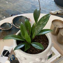 Hoya pubicalyx plant