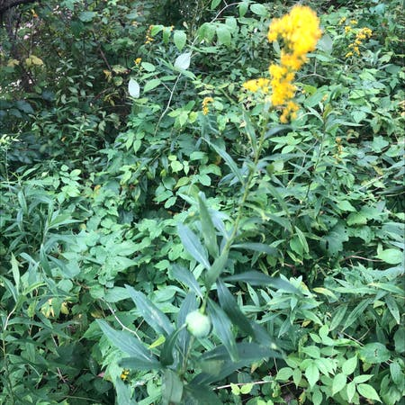 Photo of the plant species Canadian Goldenrod by Ríck named Frank on Greg, the plant care app
