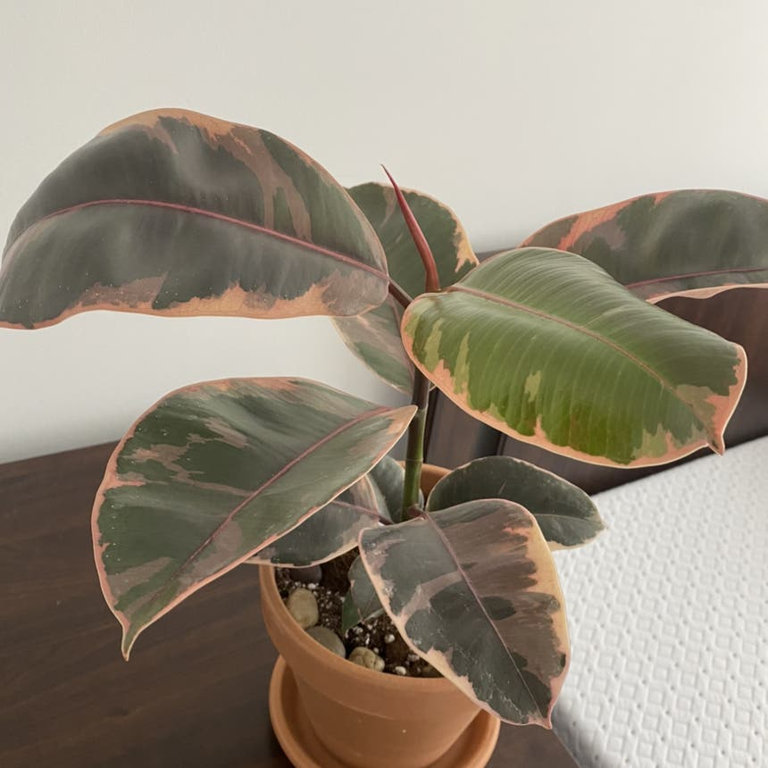 Ficus 'Ruby' plant