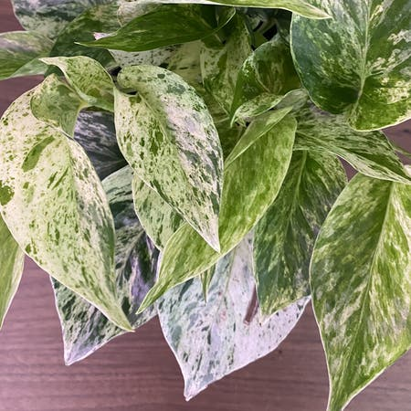 Photo of the plant species Marble queen pothos by Margot named Snow queen on Greg, the plant care app