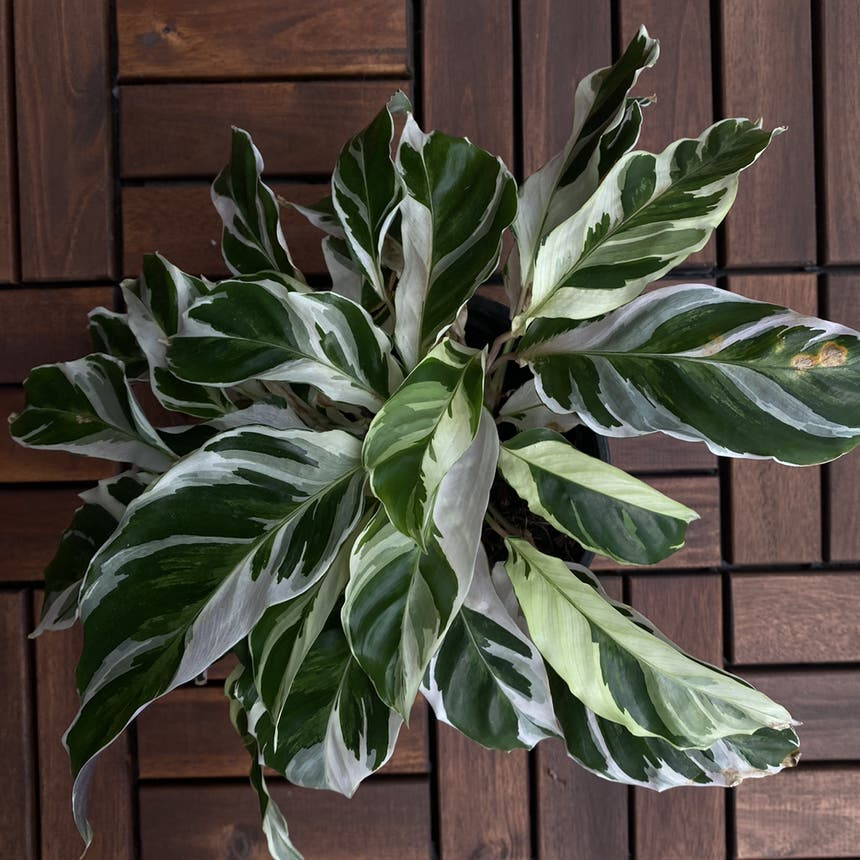 Calathea 'White Fusion' plant