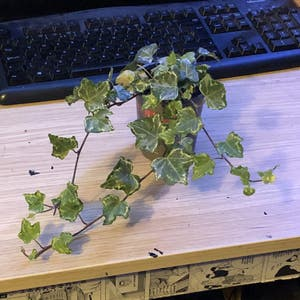 English Ivy plant photo by Slowerthai named Eevee on Greg, the plant care app.