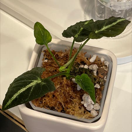 Photo of the plant species Syngonium Rayii by Blzwber named Sy-Rayii on Greg, the plant care app