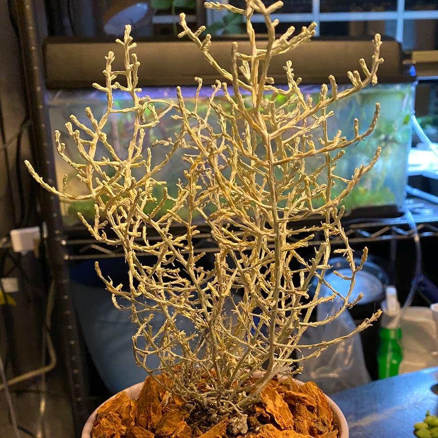 Cushion bush plant in McDonough, Georgia