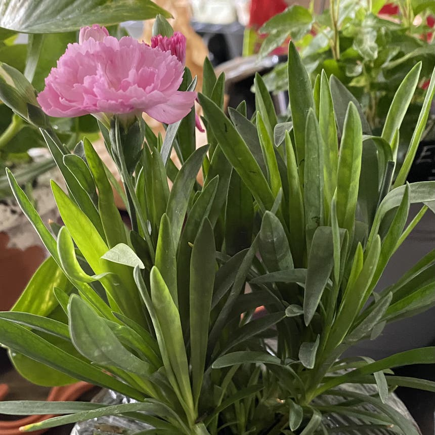 Border Carnation plant in McDonough, Georgia
