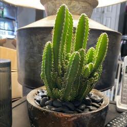 Fairy Castle Cactus plant