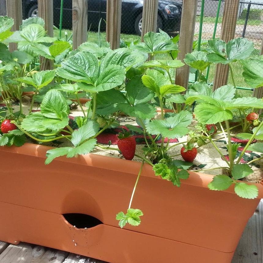 Strawberry plant in McDonough, Georgia