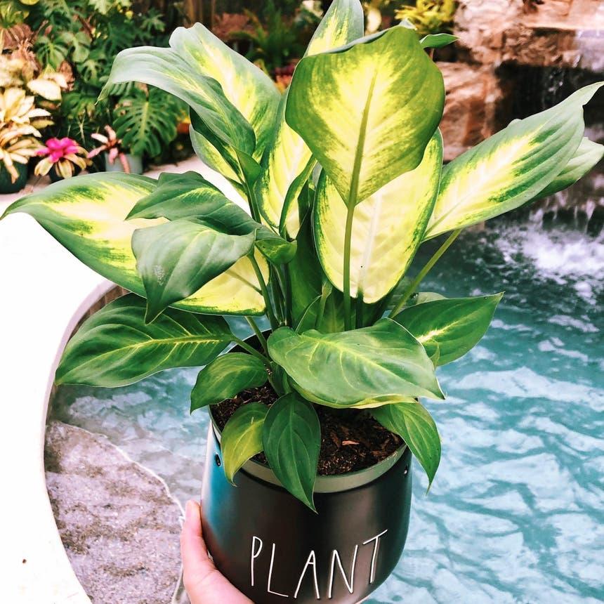 Dieffenbachia 'Tropic Marianne' plant in McDonough, Georgia
