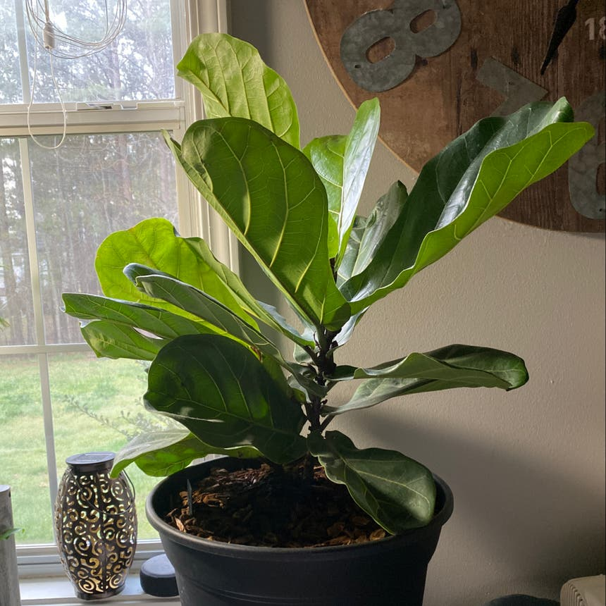 Fiddle Leaf Fig plant in McDonough, Georgia