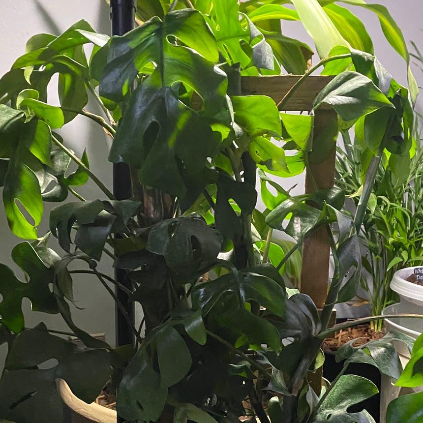 Monstera plant in McDonough, Georgia