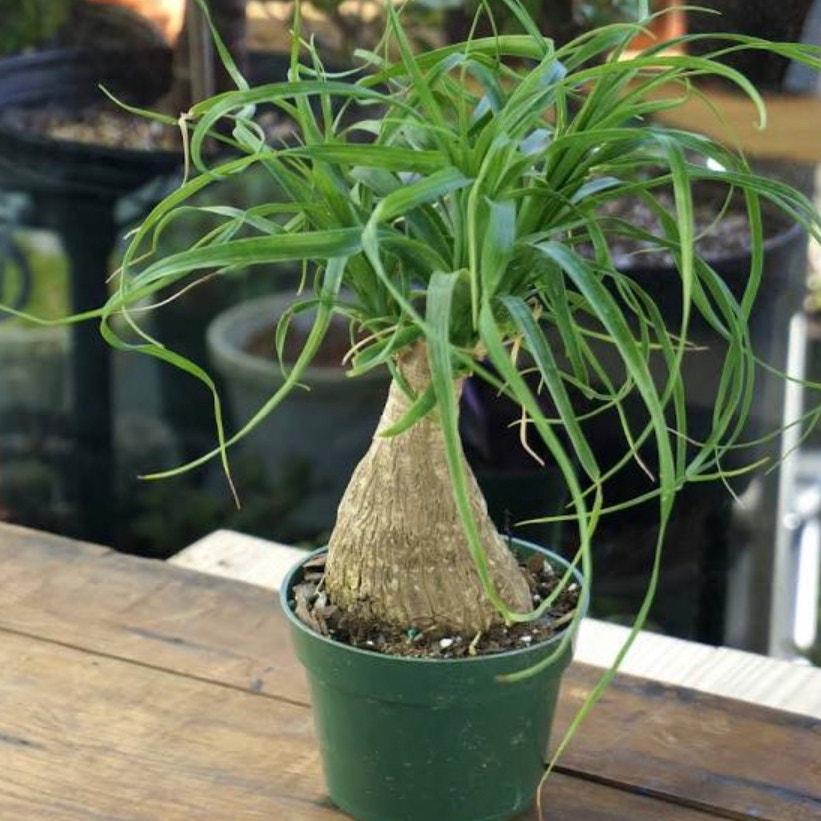 Ponytail Palm plant in McDonough, Georgia