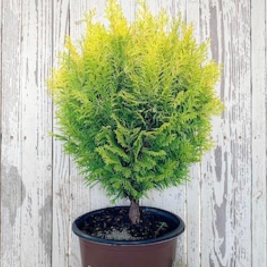 Dwarf Hinoki Cypress plant in McDonough, Georgia