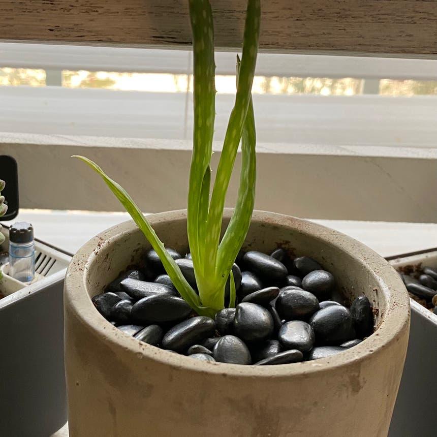 Aloe vera plant in McDonough, Georgia