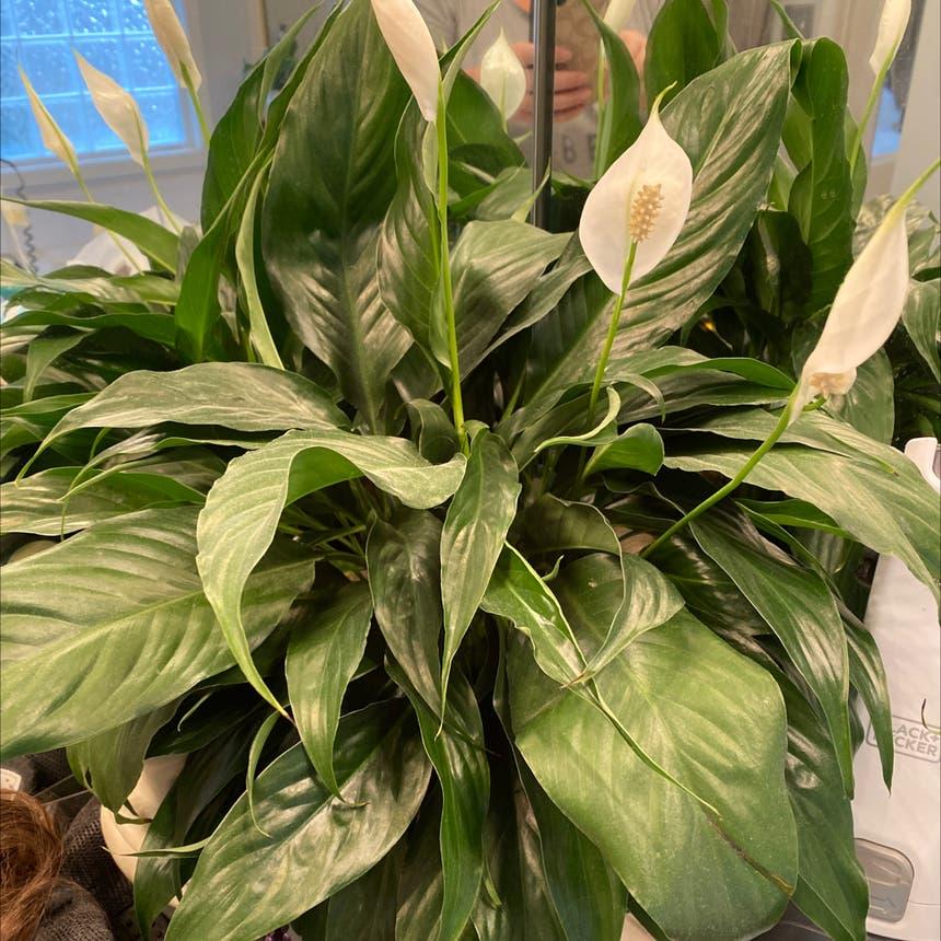 Peace Lily plant in McDonough, Georgia