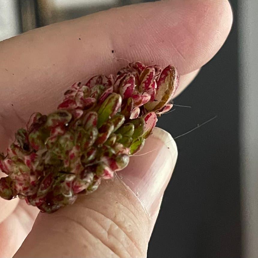Aeonium loartei tavormin plant in McDonough, Georgia